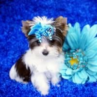 Teacup Parti Yorkie For Sale Yorkie Puppy For Sale Biewer Yorkie