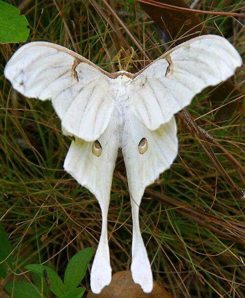 Pin By Eva Fassbinder Nyakas On Natures Beauty Moth Beautiful Butterflies Luna Moth