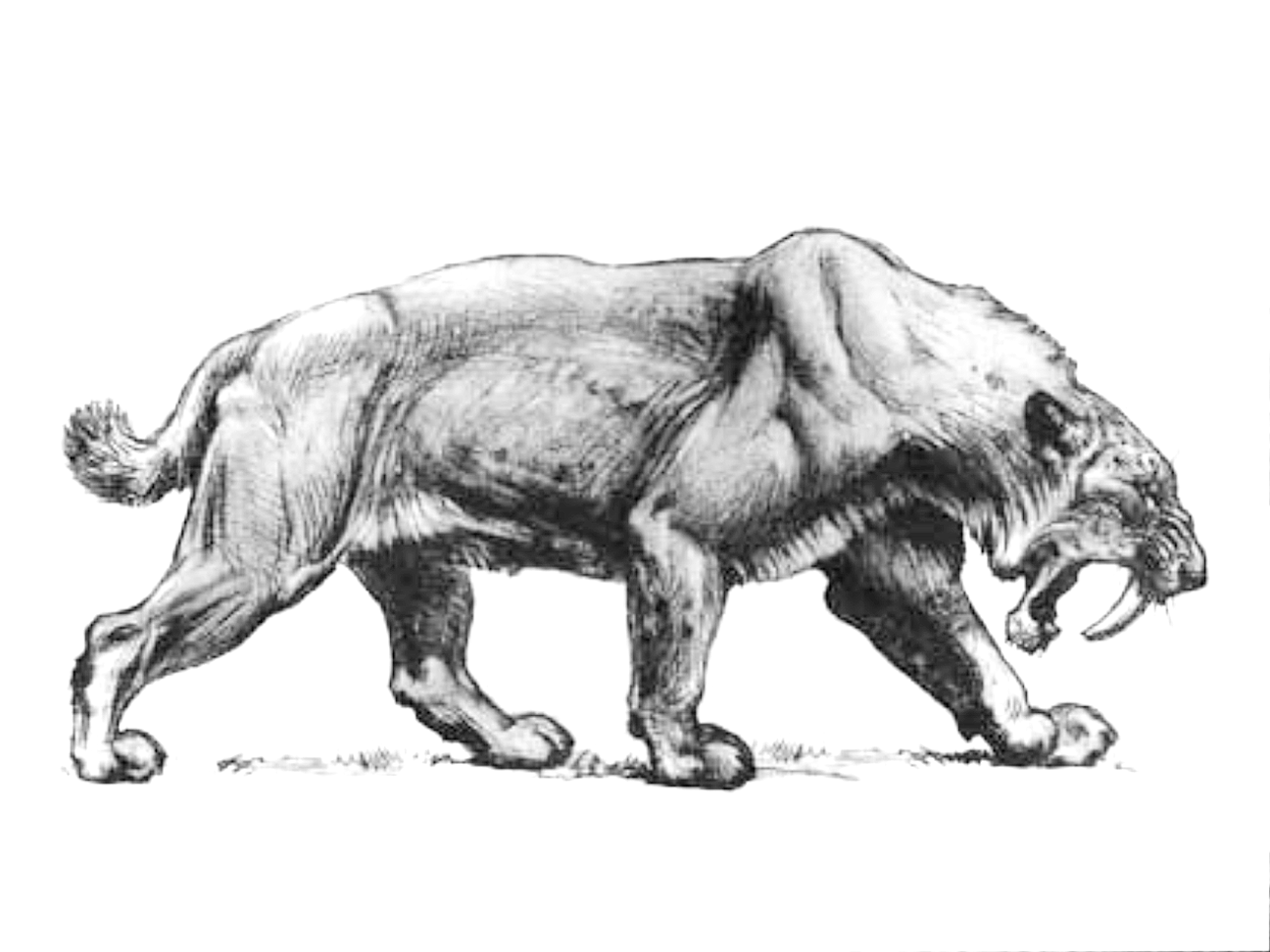Smilodon Populator A Large And Burly Saber Tooth Cat Roamed South America Throughout The Pleistocene To Early Holocine Charles Smilodon Sabertooth Tiger Art