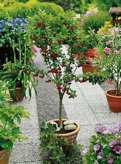 Best Fruits To Grow In Pots Fruits For Containers Fruit Plants Plants Fruit Trees