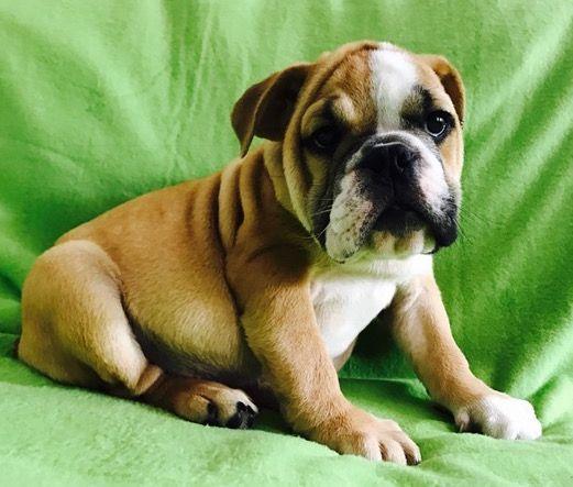 Bulldog Puppy For Sale In Charleston Sc Adn 21771 On Puppyfinder