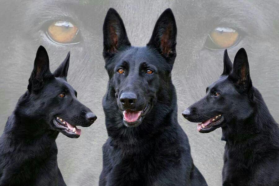 Pin von Petra Karch auf Schwarzer Schäferhund Schwarzer