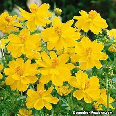 Sulphur Cosmos Seeds Dwarf Lemon Yellow Flowers Cosmos Flowers Cosmos Plant