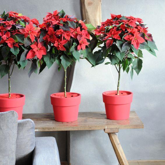 Er Is Een Kerstster Voor Elke Woonstijl Luxury Flowers Christmas Star Poinsettia