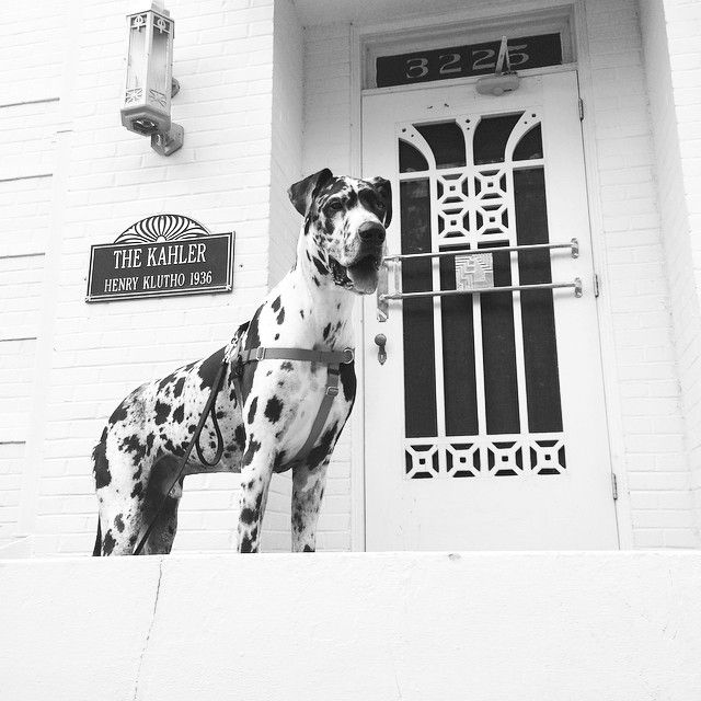 Branson The Great Dane In Avondale Jacksonville Florida