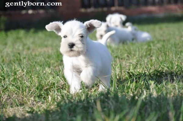 White Giant Schnauzer Puppy Schnauzer Puppy Cute Puppies And Kittens Baby Dogs