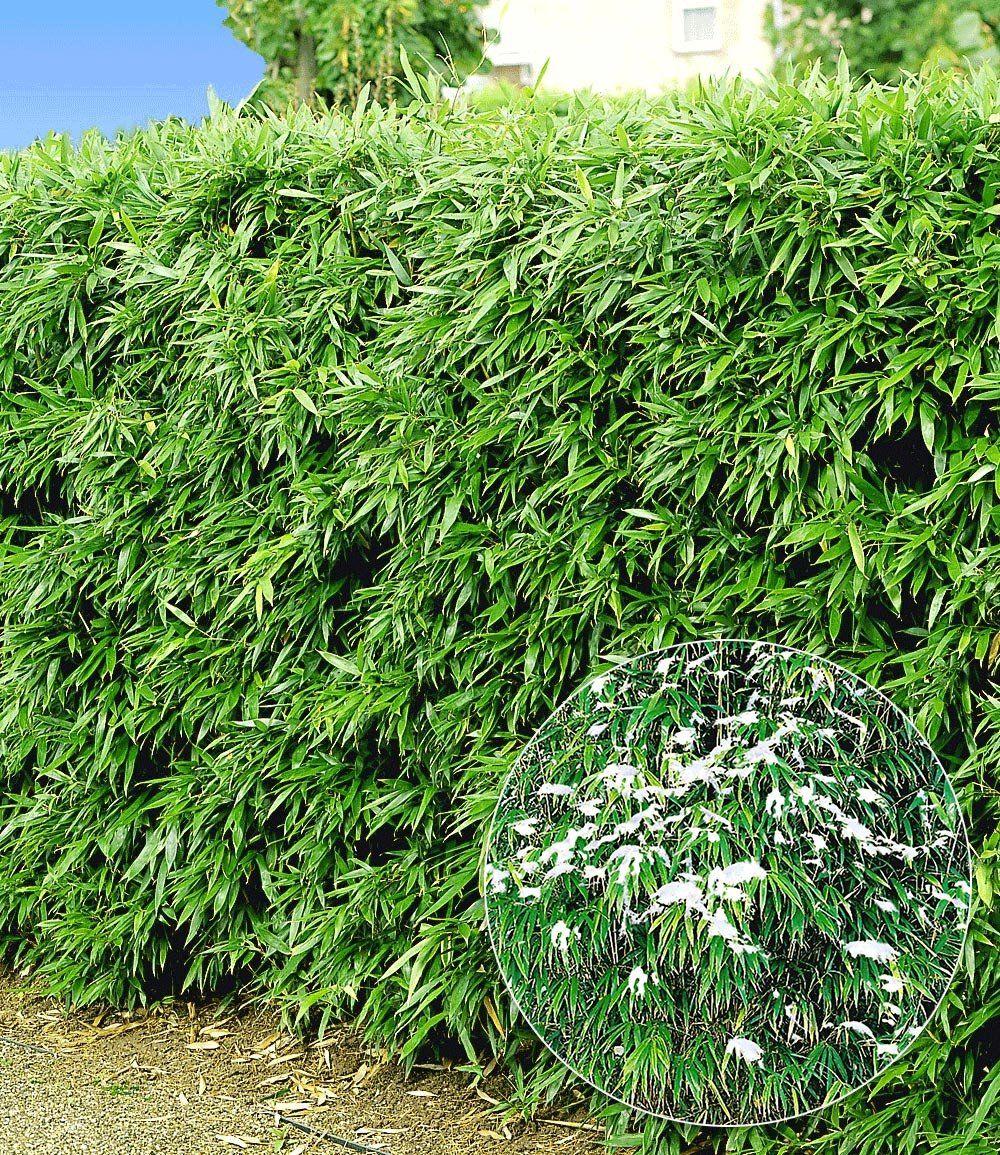 Winterharte Bambus Hecke