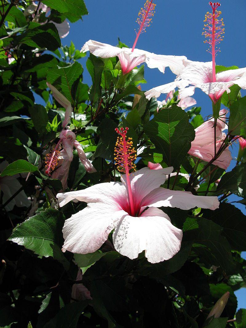 Hibiscus 8 Hibiscus Wikipedia Hibiscus Plant Hibiscus White Hibiscus