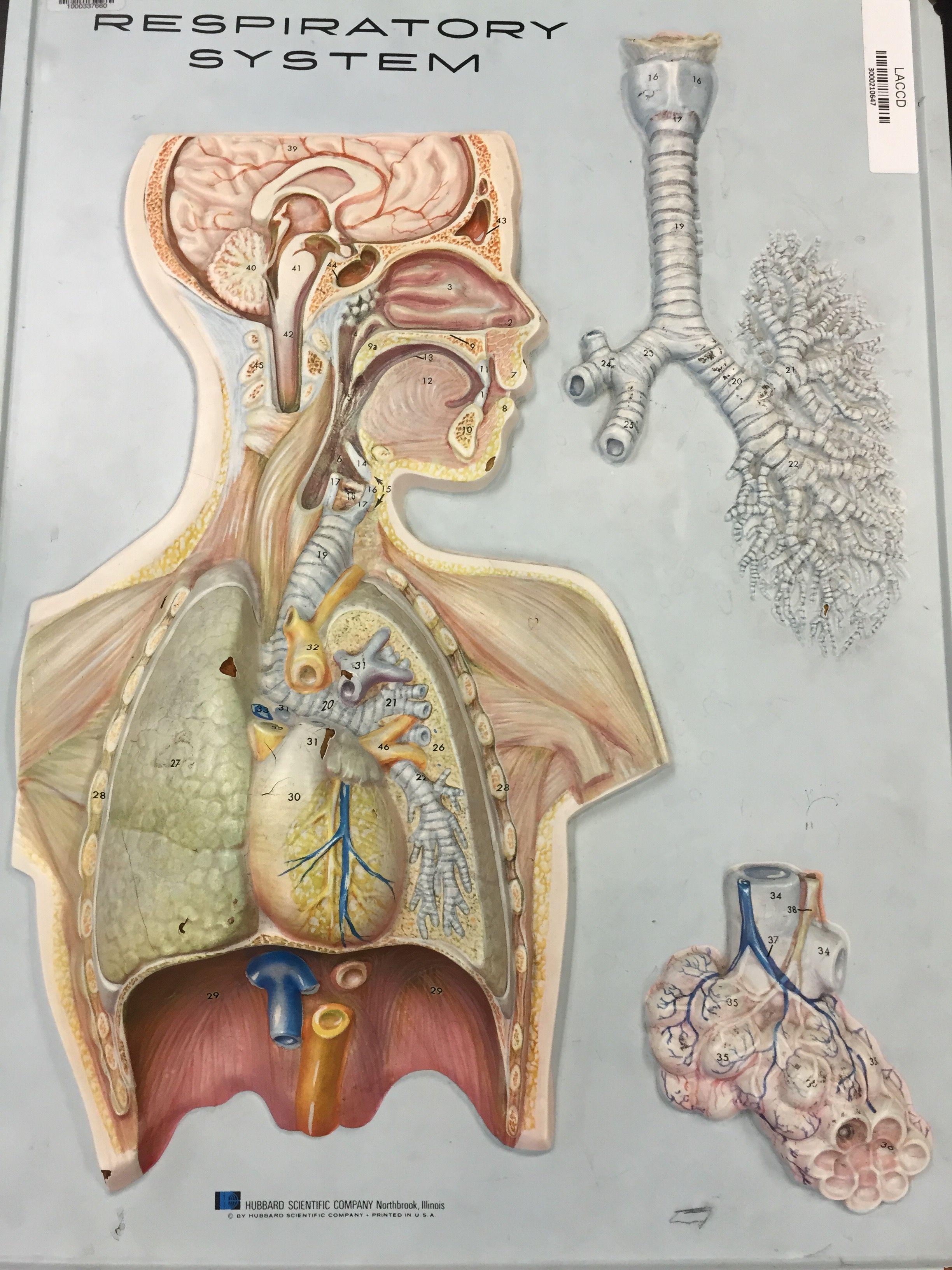 respiratory system LACC model | Anatomy/Physiology | Pinterest ...