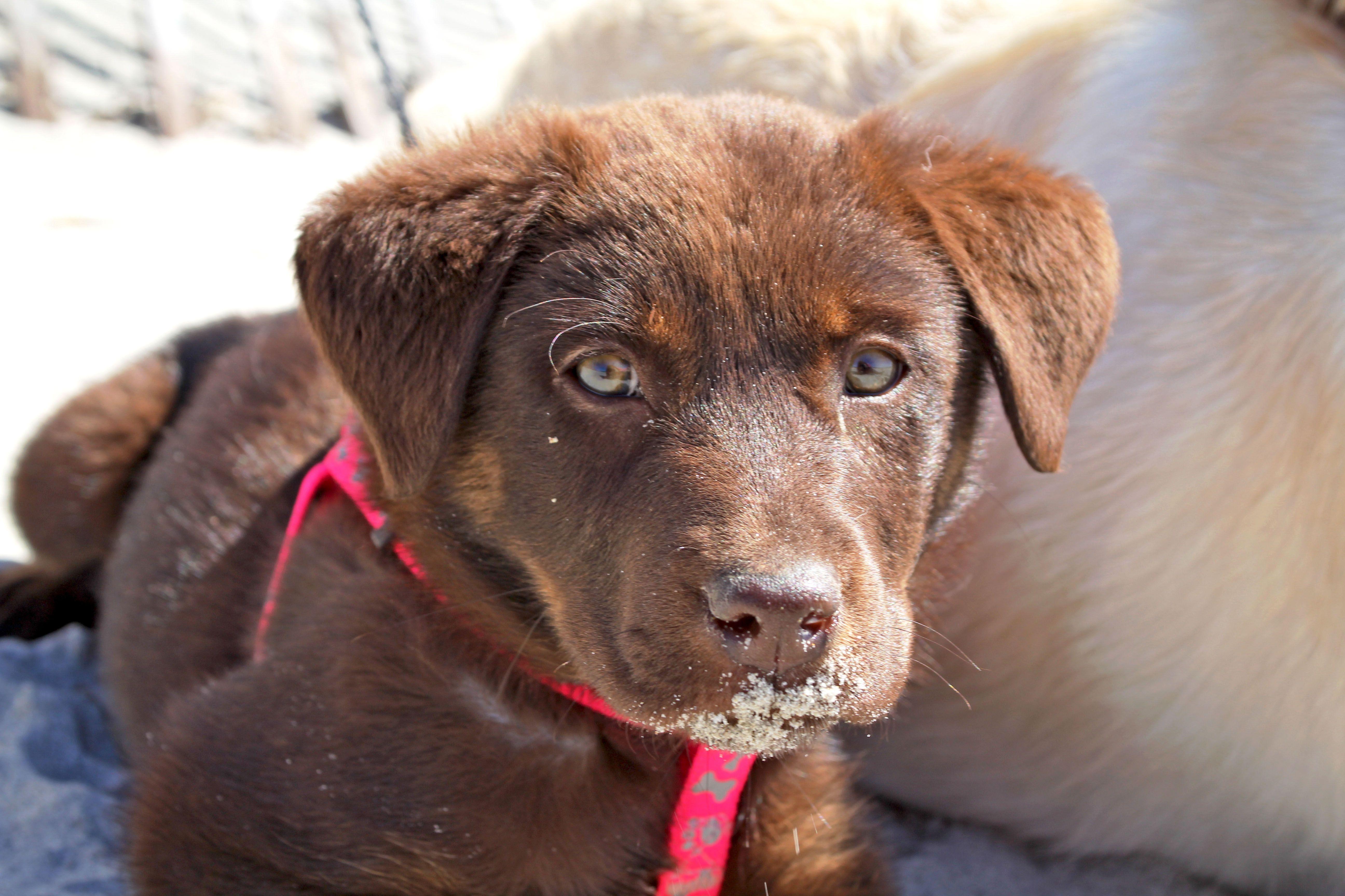Chocolate Lab Rottie Puppy Puppies Puppy Love