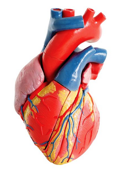 Human Heart Models Humanheartmodels Anatomy Models By