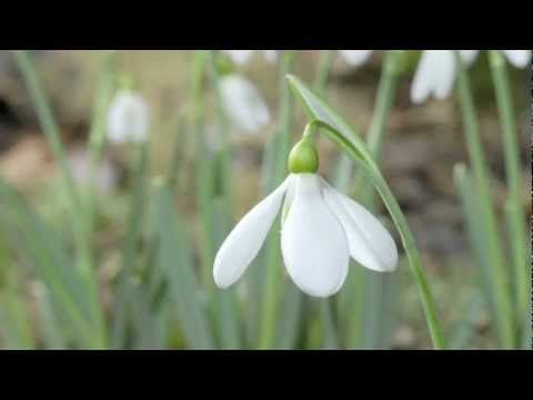 Winter Aconites And Snowdrops Blooming Timelapse Two Of The Earliest Spring Flowers Early Spring Flowers Flowers Spring Flowers