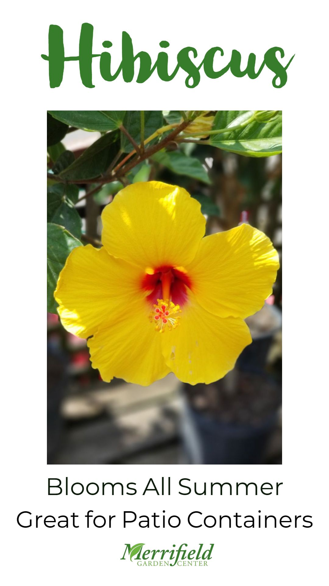 Tropical Hibiscus Blooms All Summer And Is A Great Plant