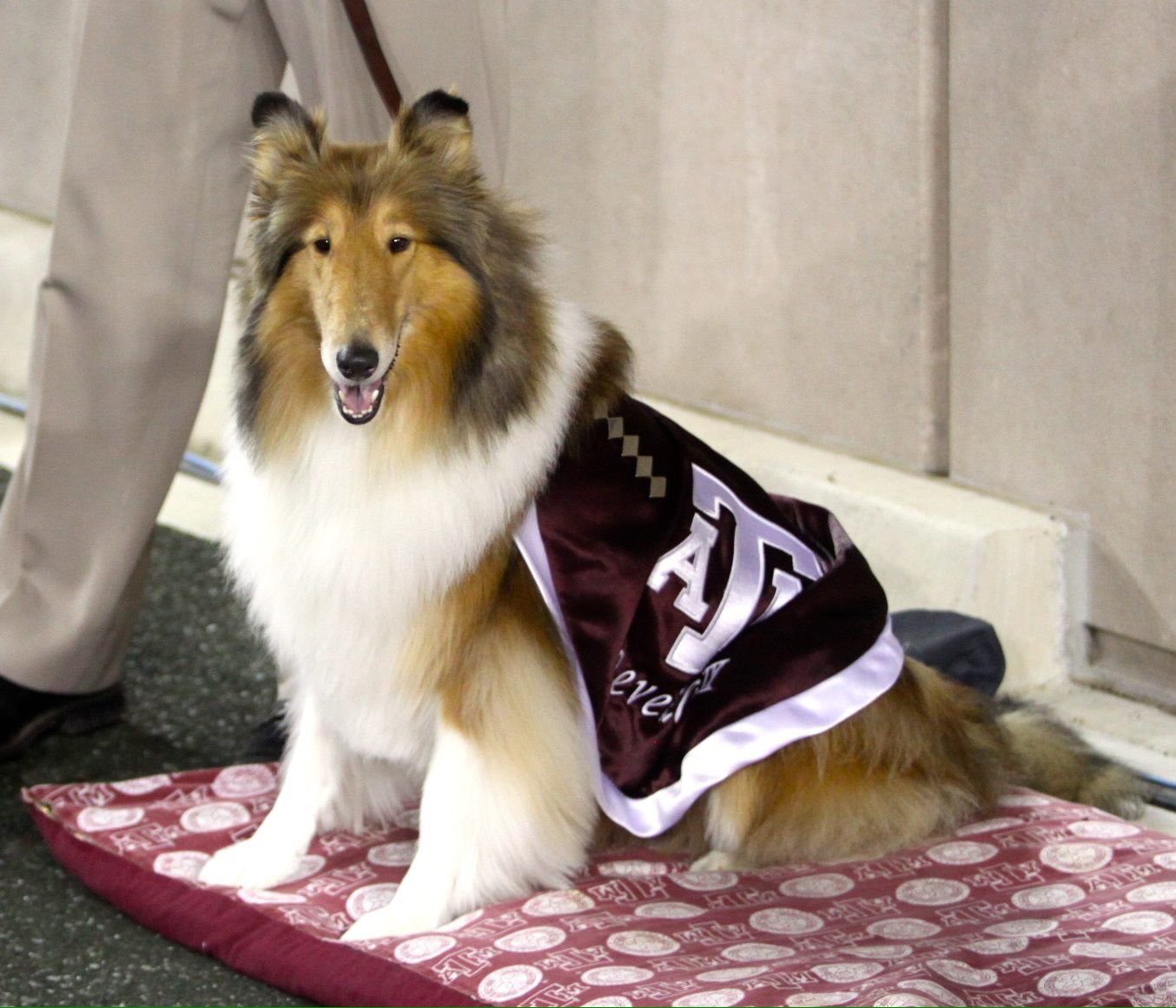 Game Against New Mexico State 10 29 16 Reveille Ix Collie Puppies Collie Dog Dog Paintings