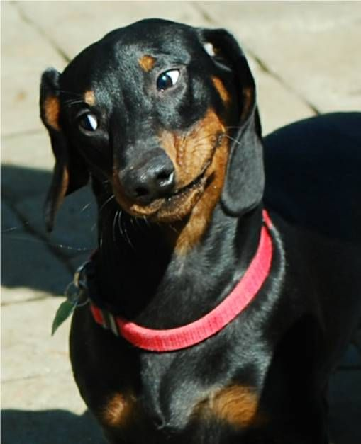 Standard Smooth European Dachshund With Images Black And Tan
