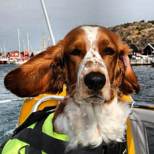 Sailing Dog By Enlisailivet With Images Welsh Springer Spaniel Springer Spaniel Field Spaniel