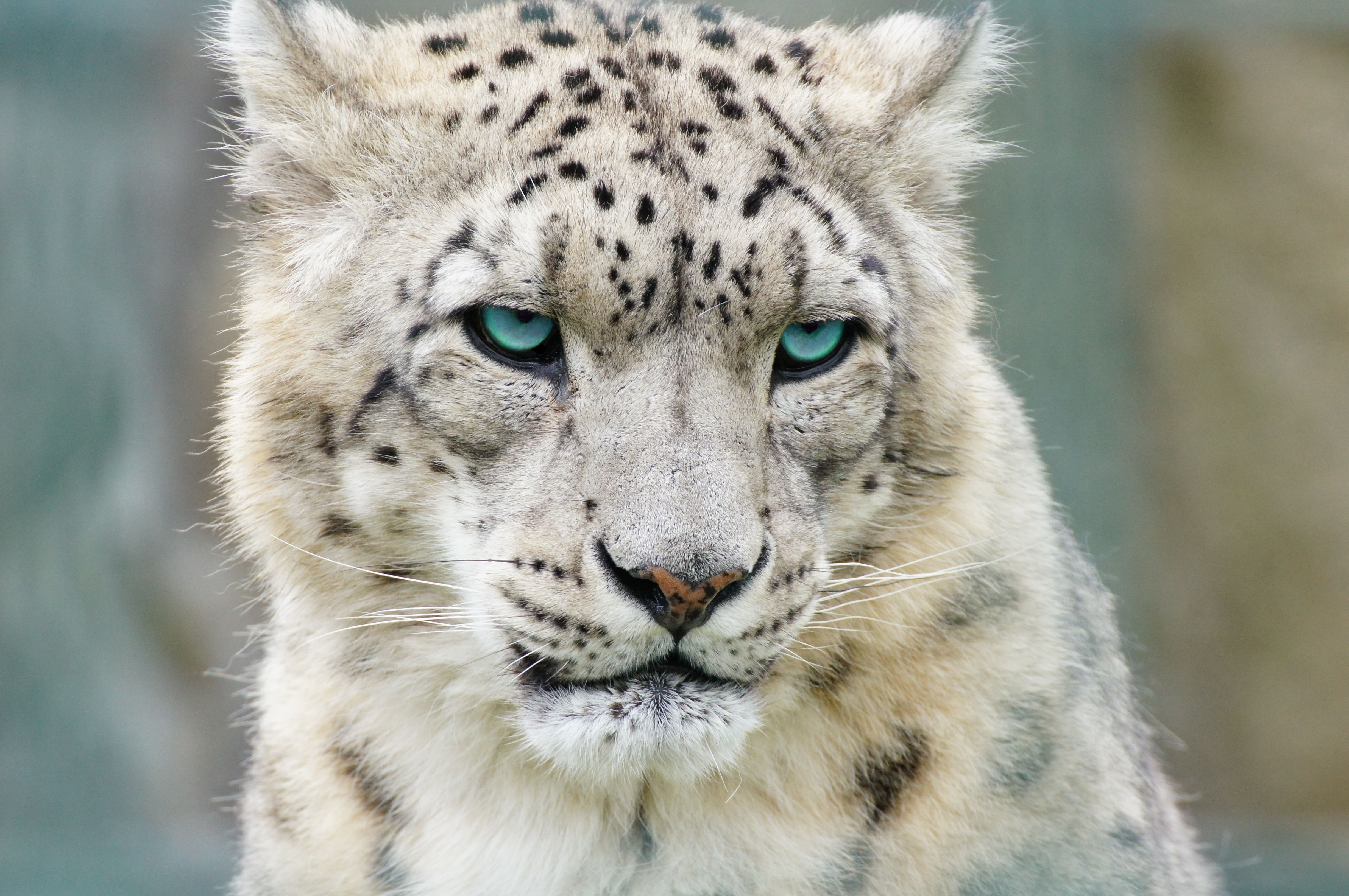 The Prey Of The Snow Leopard Have Been Decreasing From High