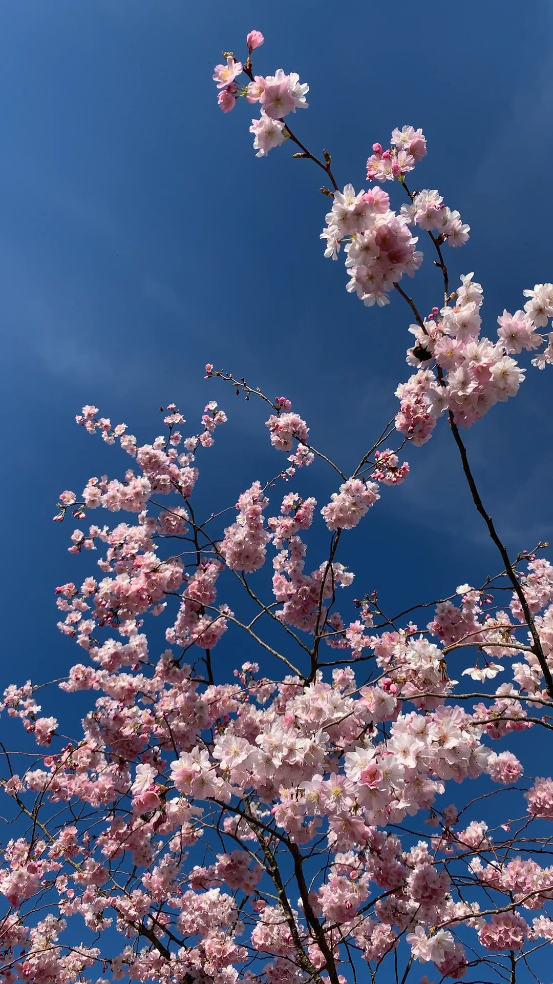 Spring Blossom 🌸