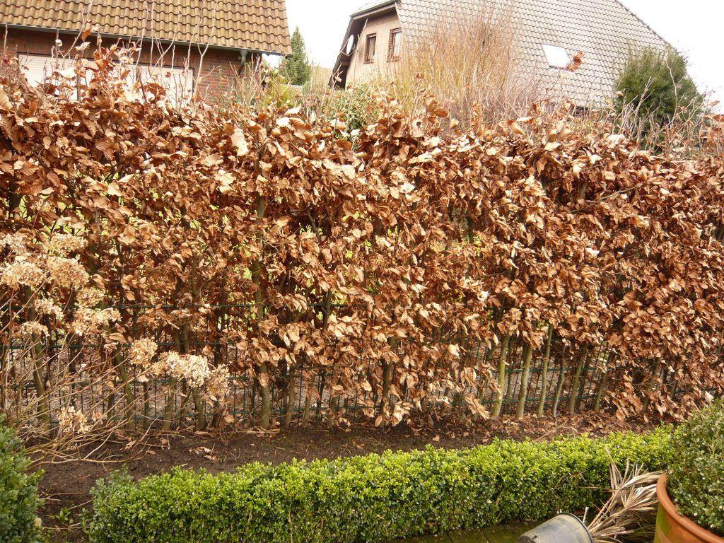 rotbuchen hecke im februar ein traditionelles forstgeh lz das sehr dichte hecken bilden. Black Bedroom Furniture Sets. Home Design Ideas
