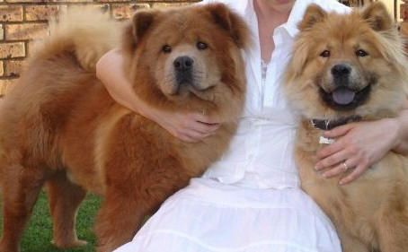 What Breed Are You Fluffy Thing Chow Chow Dogs Chow Chow Dogs