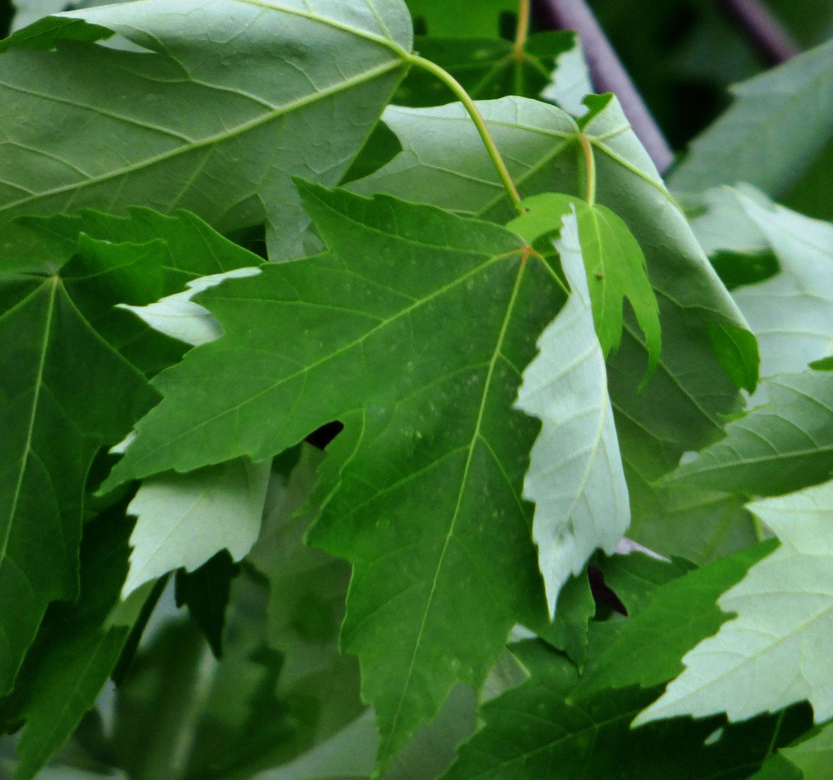 How to identify maple trees facts about maple tree types