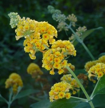 Honeycomb Yellow Butterfly Bush Buddleja Butterfly Bush Yellow Butterfly Butterfly Plants