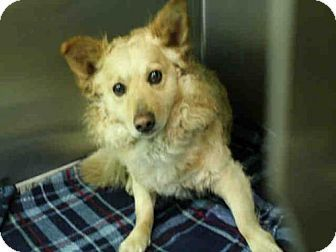 Los Angeles Ca Pembroke Welsh Corgi Mix Meet Bonbon A Dog For