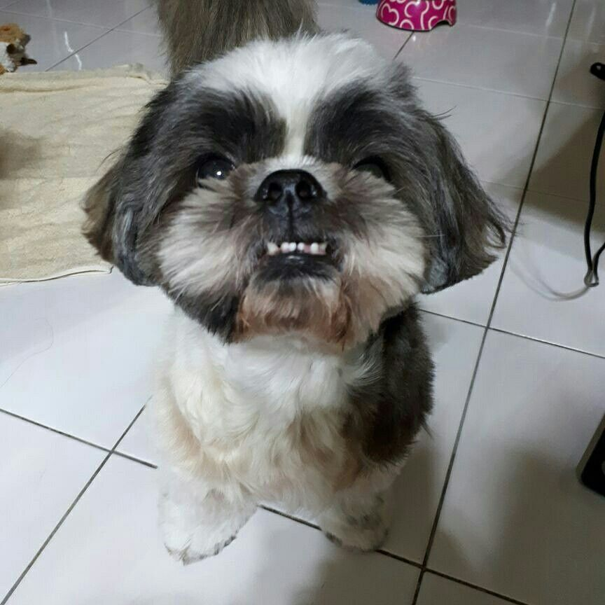 Underbite Shih Tzu Puppy Shih Tzu Dog Dog Friends