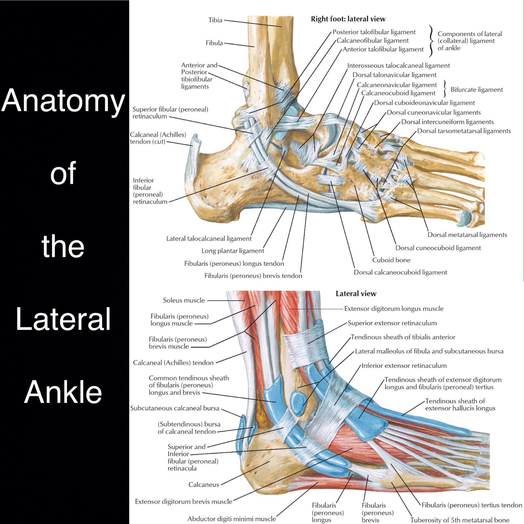Normal illustrated anatomy of the lateral ankle. Deep structures and ...