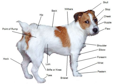 Jack Russell Terrier Pictures Information Jack Russell Terrier Jack Russell Dog Anatomy