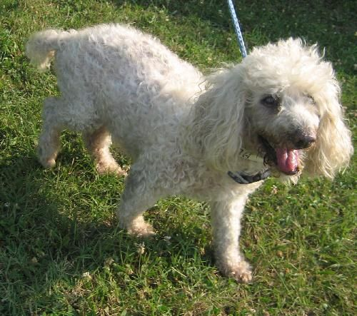 Smokie Is A Male Senior Poodle Available For Adoption At Tupelo Lee Humane Society In Tupelo Ms