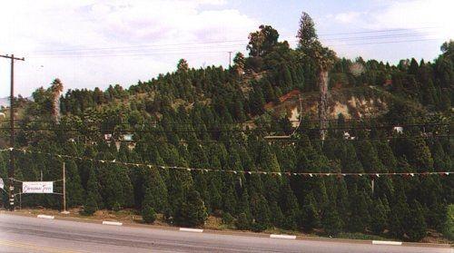 Lovely U Cut Christmas Trees! Richfield Pines Christmas Tree Farm   Yorba Linda, CA