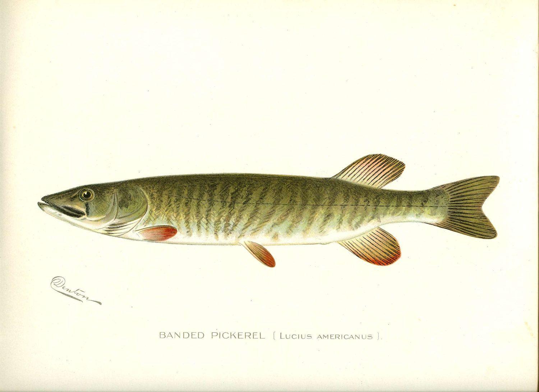 Freshwater fish anatomy - Denton Vintage Lithographs Fish Google Search