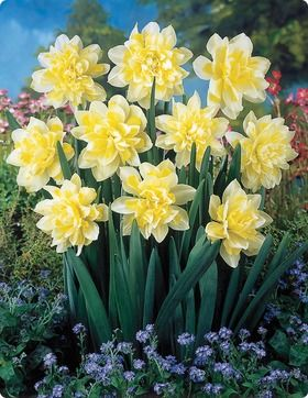 Double Daffodils Bulb Flowers Smelling Flowers Amaryllis Flowers