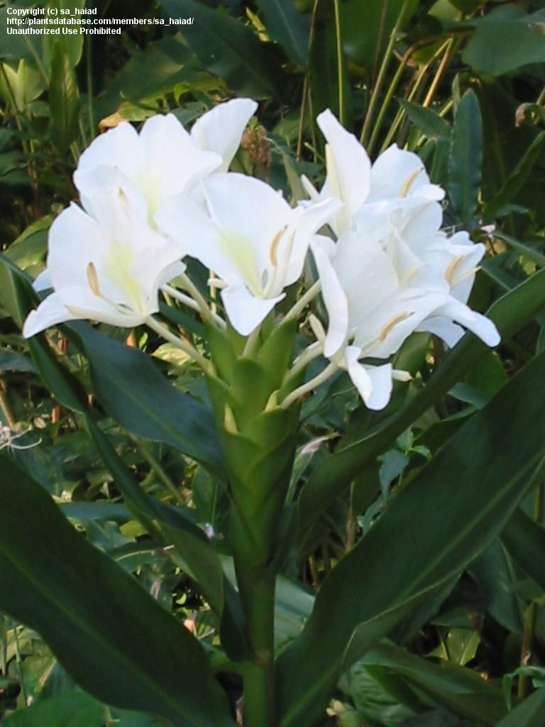 She Loved These Too Hedychium Coronarium White Butterfly Ginger Fragrant Flowers Blooming Plants Grow Butterflies