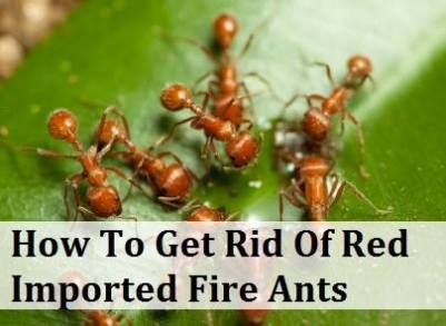 How To Get Rid Of Red Imported Fire Ants | Fire ants Ant ...
