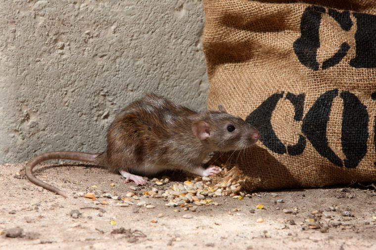 How To Get Rid Of Rats Rat Control Mice Control Rodents