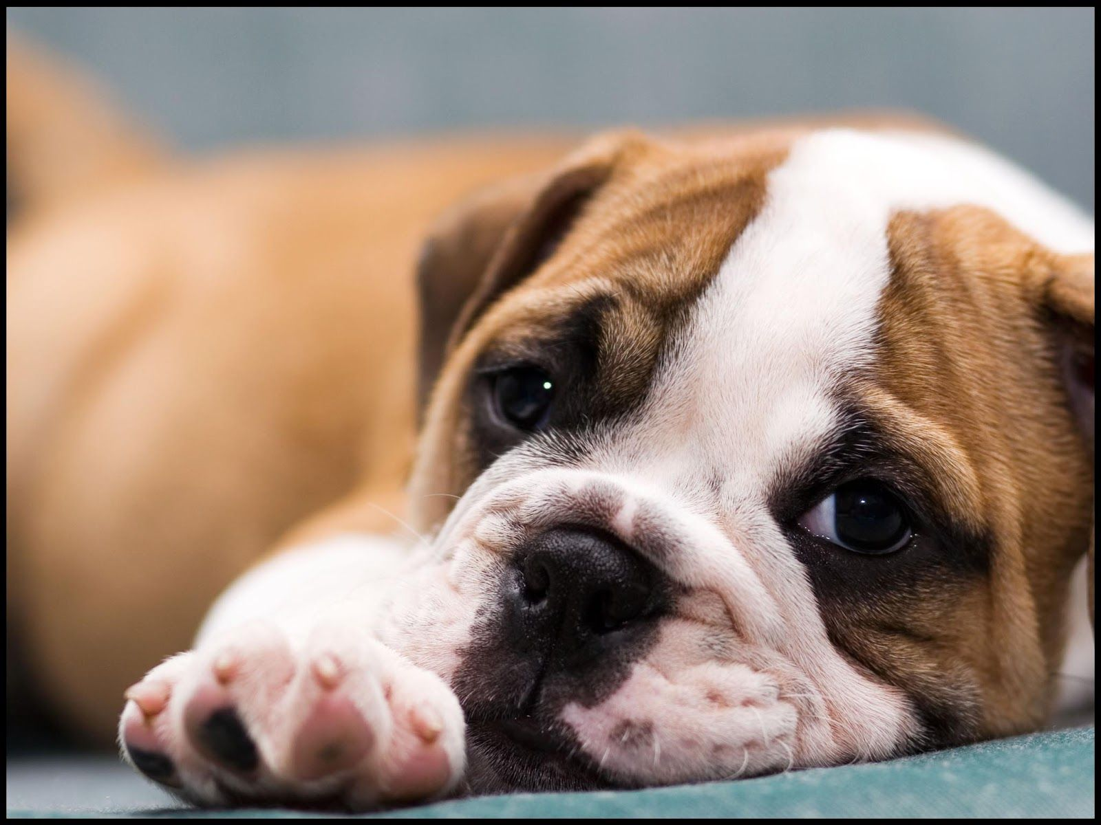 Cute French Bulldog Puppies Sleeping Hd Wallpaper And Download Bulldog Wallpaper Cute Bulldog Puppies Bulldog Puppies