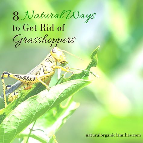 ebc0c95178623983cd28e5d4de1d2fc6 - How To Get Rid Of Grasshoppers On My Plants
