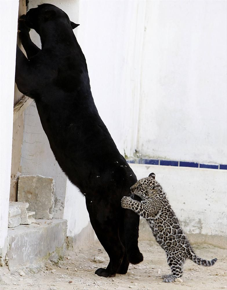 Lolo the black jaguar and her cub