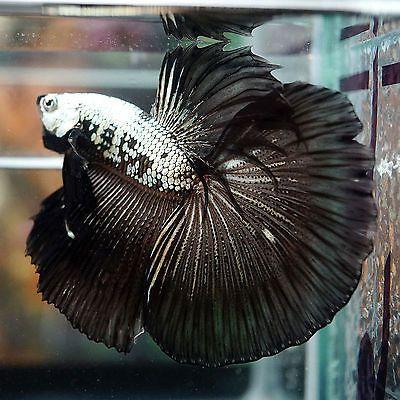 Live betta fish male stunning fancy black dragon big one for Black betta fish for sale
