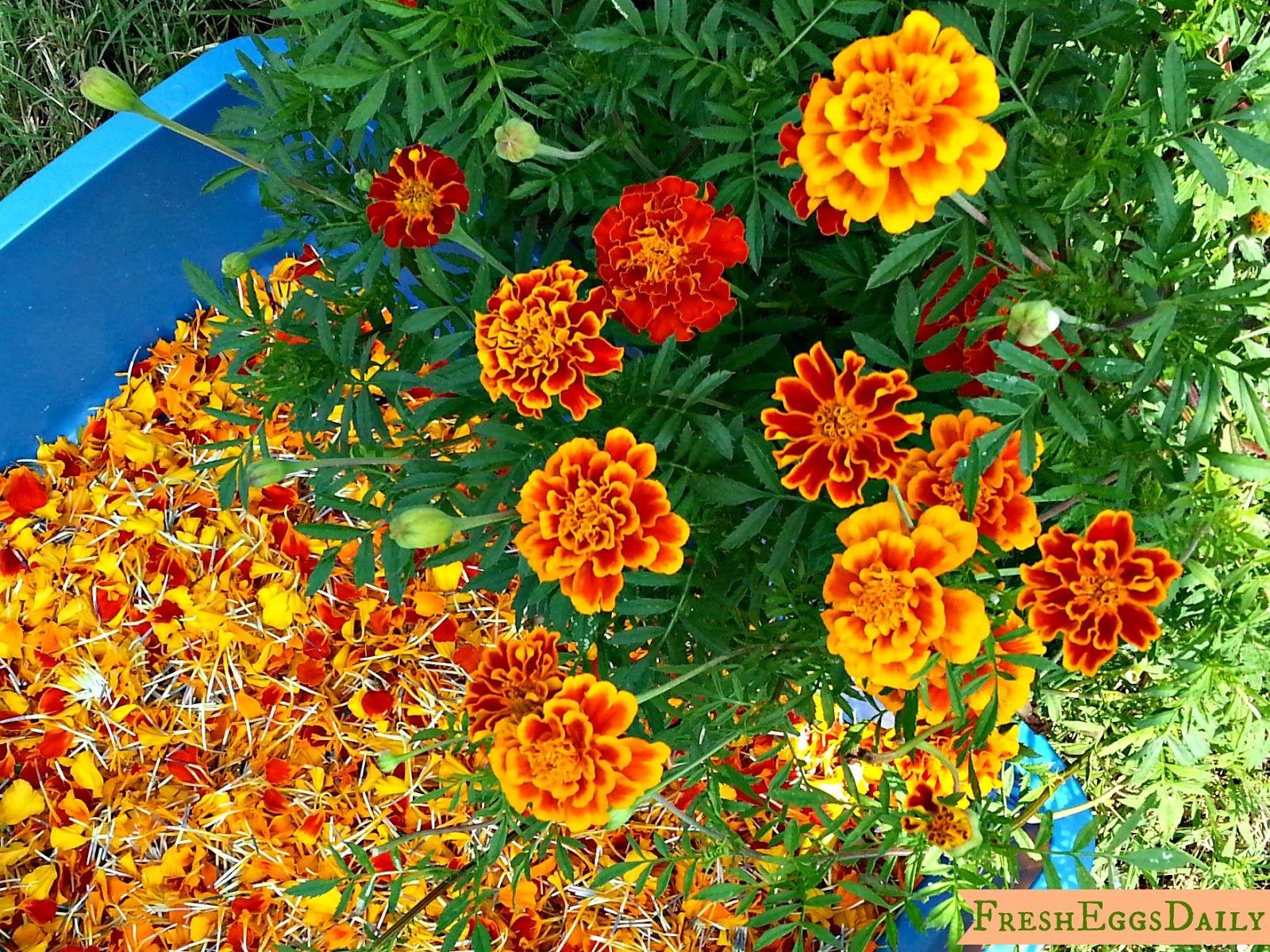 fresh eggs daily marigolds for orange egg yolks and healthy