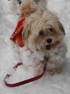 Ruby In Mn Adopted May 2014 With Images Havana Brown Cat Havanese Puppies Rescue Dogs