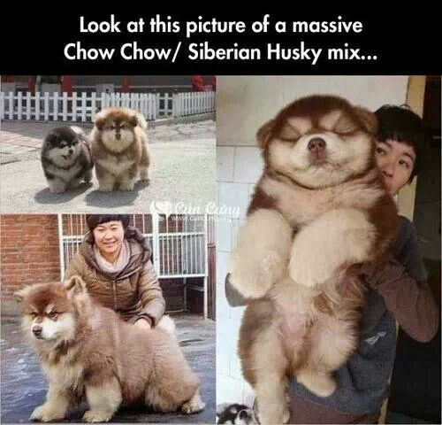 Chow Chow X Siberian Husky Dog Crossbreeds Mixed Breed Dogs