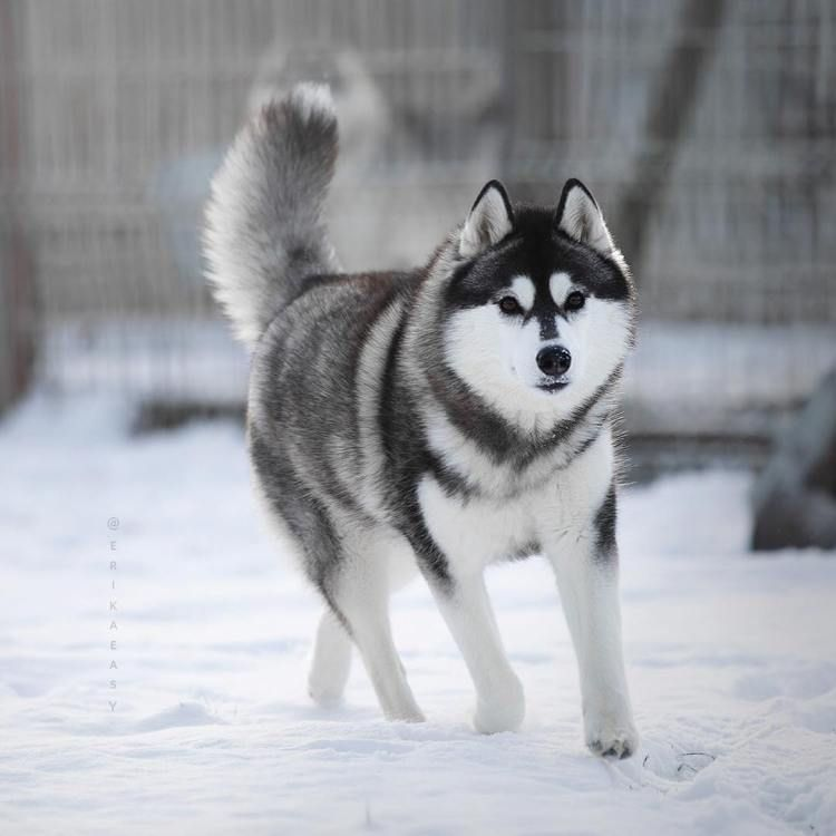 Russian Huskies So Cute You Ll Want One Too Russian Husky Husky