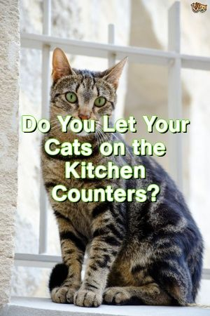Michelle Ogden Tells About Do You Let Your Cats on the Kitchen Counters?   #cats  #pets  #cute  #dogs  #lovecats  #fluffykittens  #Cat  #Tabby