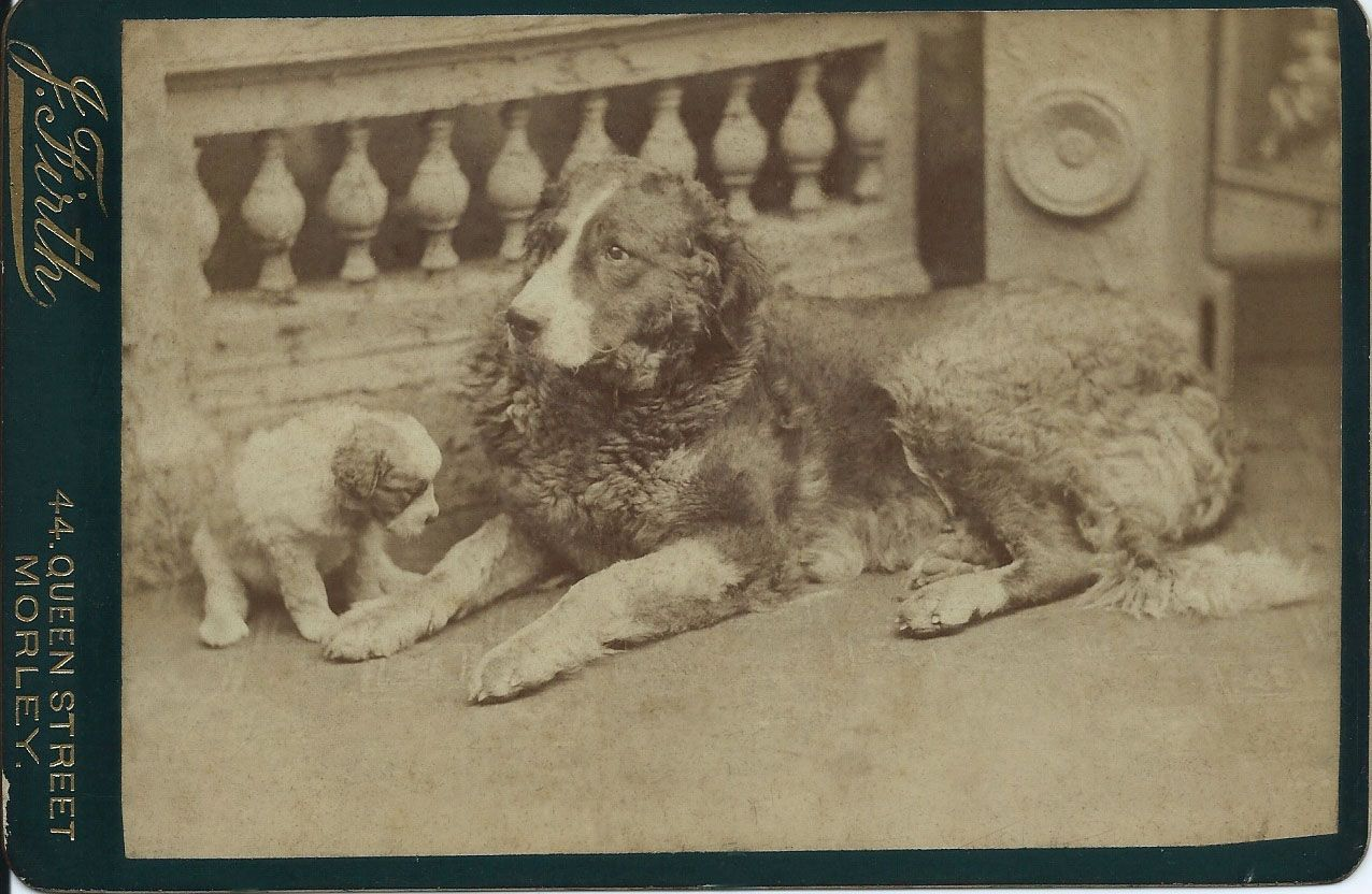 c.1890s cabinet card of Landseer-like dog, calmly lying down along with an adorable, curious puppy. Photo by J. Firth of 44 Queen Street, Morley. From bendale collection