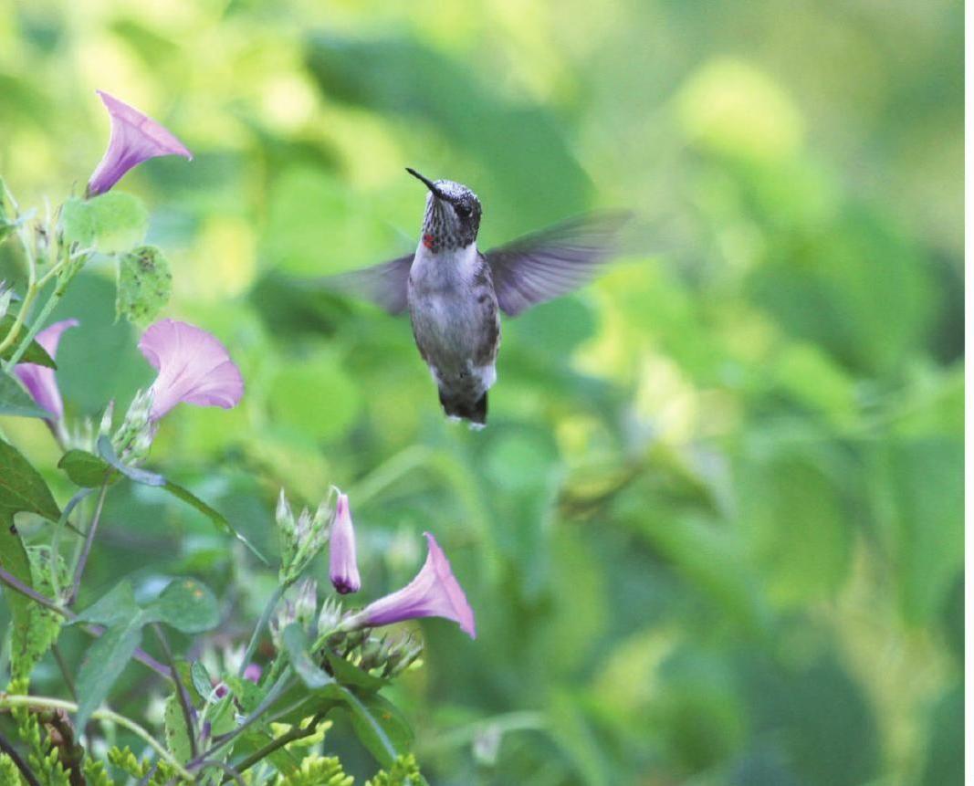 Louisiana Hummingbirds (With images) Louisiana, Hummingbird