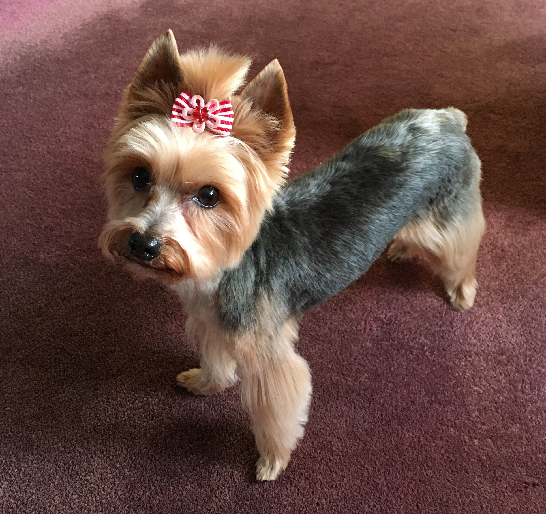 Pin By Cindy Gardner On Zoey Dog Hero Pet Psychic Silky Terrier