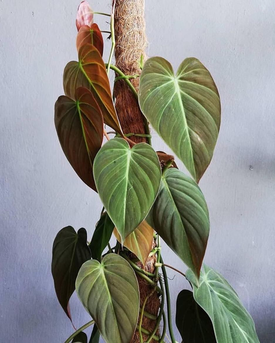 Those Blush Tones Of Philodendron Micans These Are Beautiful Trained On A Totem Or Trellis We Ve Got Quit Potted Plants Outdoor House Plant Pots Philodendron Philodendron micans (philodendron hederaceum micans). philodendron micans
